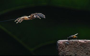 Jumping Spider (Plexippus paykulli) leaping onto fly prey, Crete, Greece  -  Stephen Dalton