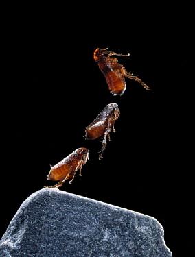 Cat Flea (Ctenocephalides felis) multiflash, 1/60000 second exposure  -  Stephen Dalton
