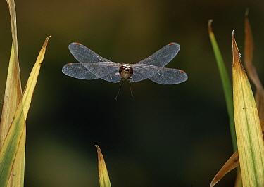 Common Darter (Sympetrum striolatum) dragonfly flying  -  Stephen Dalton