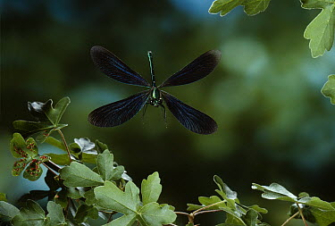 Beautiful Demoiselle (Calopteryx virgo) male flying  -  Stephen Dalton