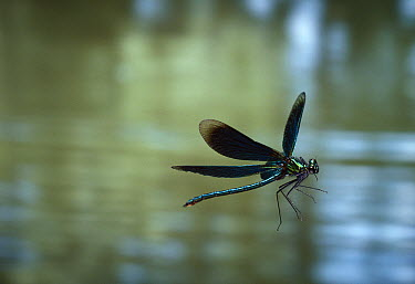Beautiful Demoiselle (Calopteryx virgo) male flying  -  Stephen Dalton