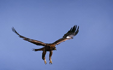 Golden Eagle (Aquila chrysaetos) flying  -  Stephen Dalton
