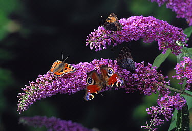 Peacock Butterfly (Inachis io) and Small Tortoiseshell (Aglais urticae) butterfly on flowers  -  Stephen Dalton