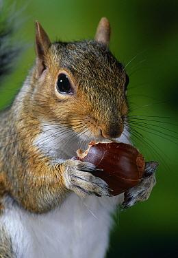 Eastern Gray Squirrel (Sciurus carolinensis) eating chestnut  -  Stephen Dalton