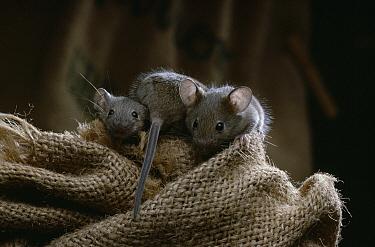 House Mouse (Mus musculus) juveniles  -  Stephen Dalton