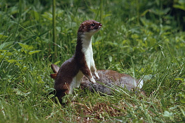 Short-tailed Weasel (Mustela erminea) on lookout close to rabbit prey  -  Stephen Dalton