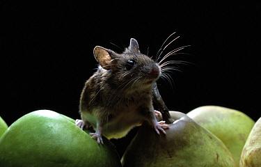 Yellow-necked Field Mouse (Apodemus flavicollis) on apples  -  Stephen Dalton