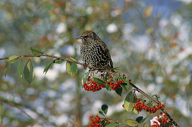 Common Starling (Sturnus vulgaris) with ripe berries  -  Stephen Dalton