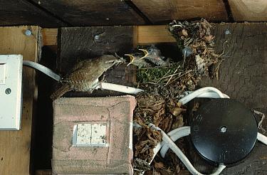 Eurasian Wren (Troglodytes troglodytes) feeding young at nest  -  Stephen Dalton
