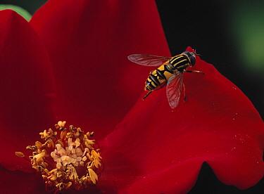 Hoverfly (Helophilus pendulus) on rose  -  Stephen Dalton