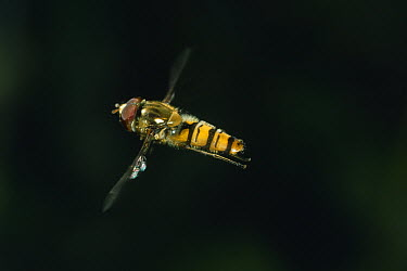 Marmalade Hover Fly (Episyrphus balteatus) flying  -  Stephen Dalton