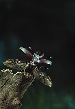 Stag Beetle (Lucanus cervus) taking-off  -  Stephen Dalton