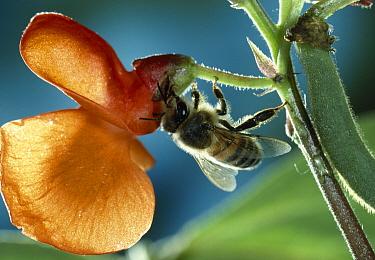 Honey Bee (Apis mellifera) collecting nectar from flower of runner bean  -  Stephen Dalton