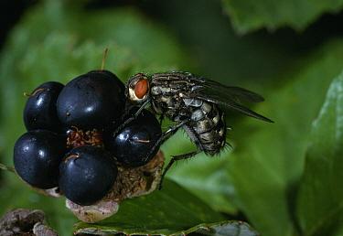 Grey Flesh Fly (Sarcophaga carnaria) on ripe blackberry drinking surface juices  -  Stephen Dalton
