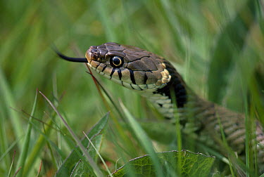 Grass Snake (Natrix natrix) flicking tongue  -  Stephen Dalton