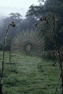 Orb web covered with dew drops, strung between marsh thistles, autumn  -  Stephen Dalton