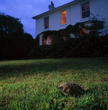 Brown-breasted Hedgehog (Erinaceus europaeus) on garden lawn at dusk  -  Stephen Dalton