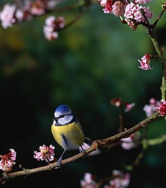 Blue Tit (Cyanistes caeruleus) on branch with blossom  -  Stephen Dalton