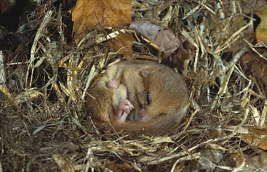 Common Dormouse (Muscardinus avellanarius) in hibernation  -  Stephen Dalton