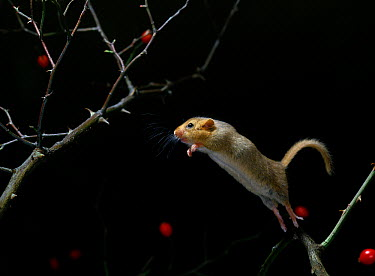 Common Dormouse (Muscardinus avellanarius) leaping  -  Stephen Dalton
