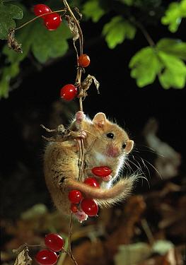 Common Dormouse (Muscardinus avellanarius) on bryony berries  -  Stephen Dalton