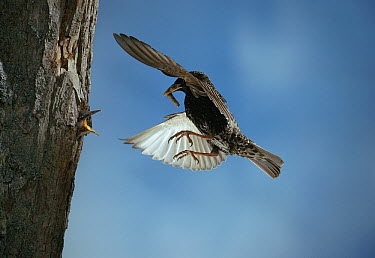 Common Starling (Sturnus vulgaris) flying to nest with leather-jacket prey  -  Stephen Dalton