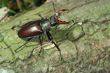 Stag Beetle (Lucanus cervus) male  -  Stephen Dalton
