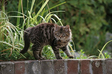 Domestic Cat (Felis catus) Tabby with hackles raised in fear  -  Stephen Dalton