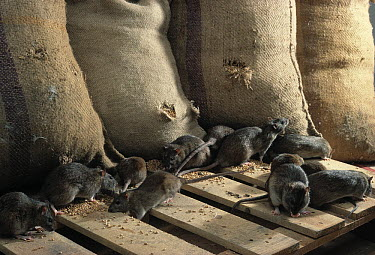 Brown Rat (Rattus norvegicus) group raiding grain store  -  Stephen Dalton