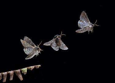 Iron Prominent (Notodonta dromedarius) moth taking off  -  Stephen Dalton