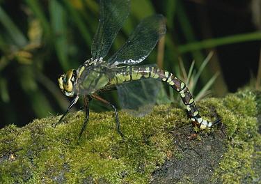 Southern Hawker Dragonfly (Aeshna cyanea) laying eggs  -  Stephen Dalton