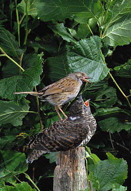 Common Cuckoo (Cuculus canorus) young perched on post, being fed by Dunnock (Prunella modularis) its foster parent  -  Stephen Dalton