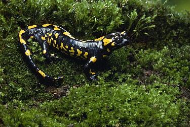 Fire Salamander (Salamandra salamandra) in moss  -  Stephen Dalton