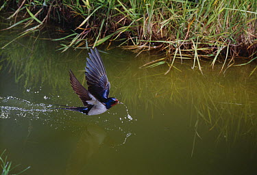 Barn Swallow (Hirundo rustica) drinking from garden pond  -  Stephen Dalton
