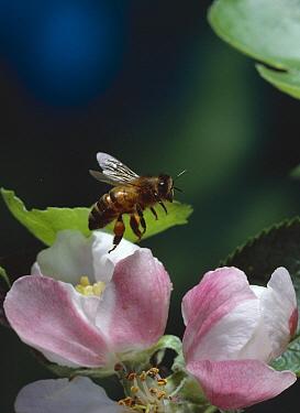 Honey Bee (Apis mellifera) with pollen baskets flying over apple blossom  -  Stephen Dalton