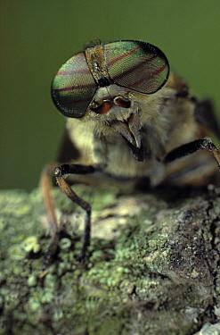 Horse Fly (Tabanidae) compound eyes  -  Stephen Dalton