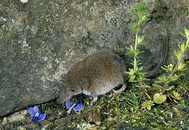 Pygmy Shrew (Sorex minutus) against rocks  -  Stephen Dalton