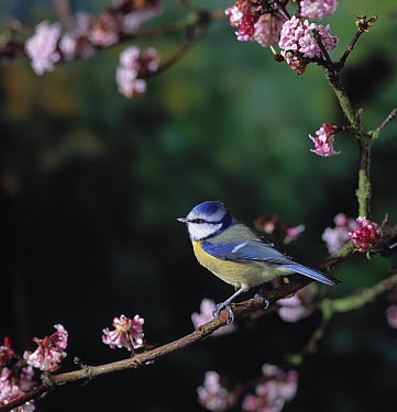 Blue Tit (Cyanistes caeruleus) perched on branch with blossoms  -  Stephen Dalton
