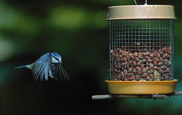 Blue Tit (Cyanistes caeruleus) approaching bird feeder  -  Stephen Dalton