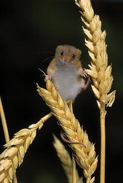 Harvest Mouse (Micromys minutus) on wheat  -  Stephen Dalton