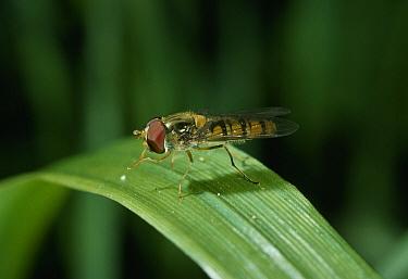 Marmalade Hover Fly (Episyrphus balteatus) on grass blade  -  Stephen Dalton