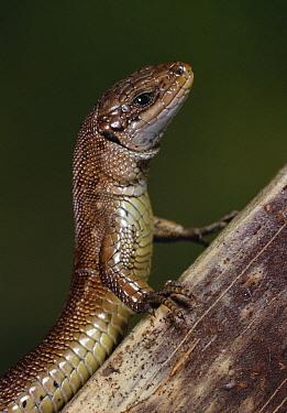 Viviparous Lizard (Zootoca vivipara) on branch  -  Stephen Dalton