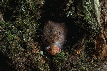 Field Vole (Microtus agrestis) eating nut  -  Stephen Dalton