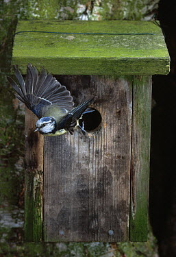 Blue Tit (Cyanistes caeruleus) leaving nest box  -  Stephen Dalton