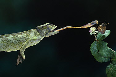 Mediterranean Chameleon (Chamaeleo chamaeleon) attempting to catch butterfly  -  Stephen Dalton