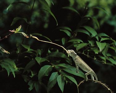Mediterranean Chameleon (Chamaeleo chamaeleon) catching insect with tongue  -  Stephen Dalton
