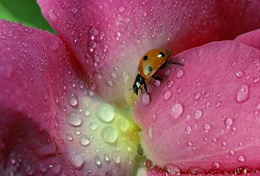 Seven-spotted Ladybird (Coccinella septempunctata) on flower with raindrops  -  Stephen Dalton