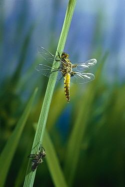 Broad-bodied Chaser (Libellula depressa) dragonfly, newly emerged  -  Stephen Dalton