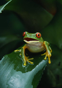 Red-eyed Tree Frog (Agalychnis callidryas) in bromeliad  -  Stephen Dalton