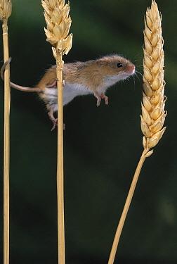 Harvest Mouse (Micromys minutus) on grain stalks  -  Stephen Dalton